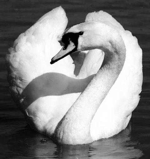 Swan Power